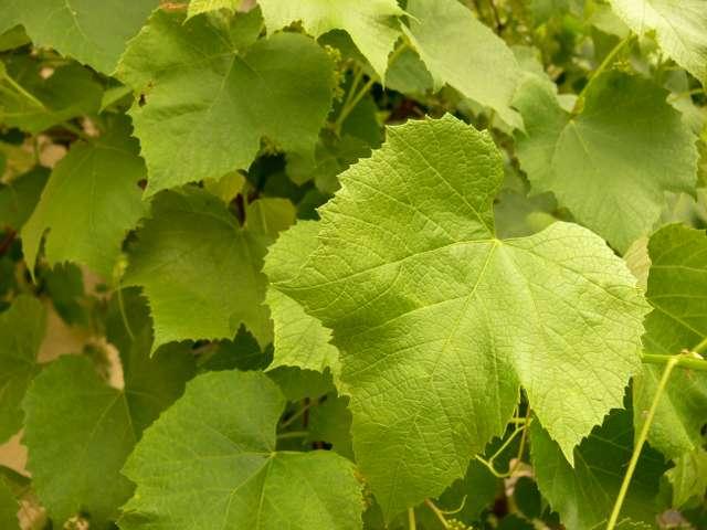 Sālītas vīnogu lapas